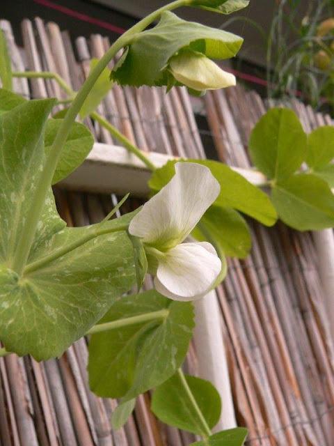 Balkon Blumen Gemüse Selbstversorger Pflanzen Innenstadt Oase Sommer Erbse