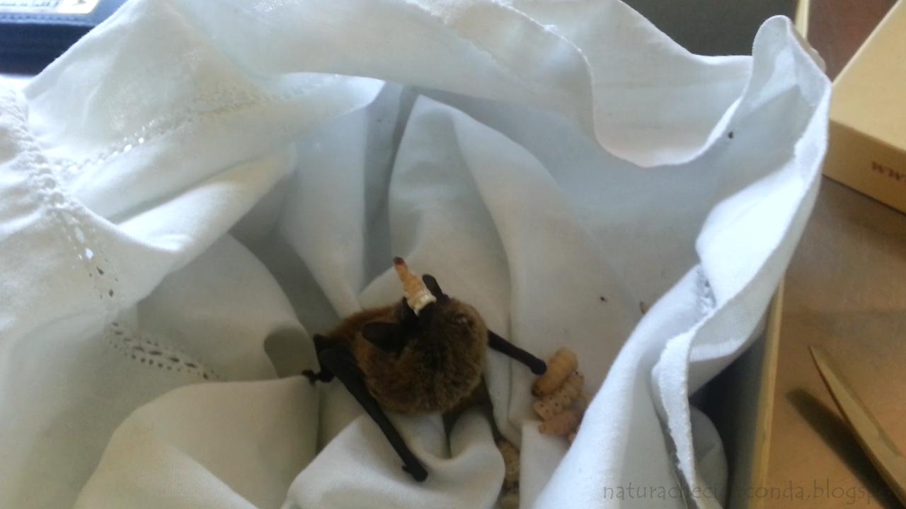 pipistrello+mangia2.png