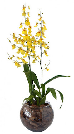 Orquídea oncidium na taça...