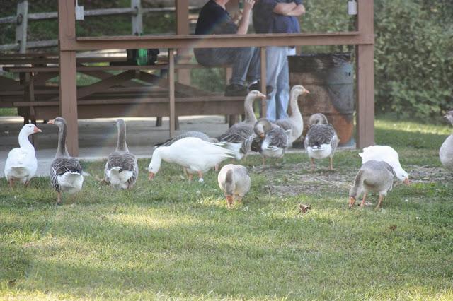 Geese on Braddock's Crossing lawn