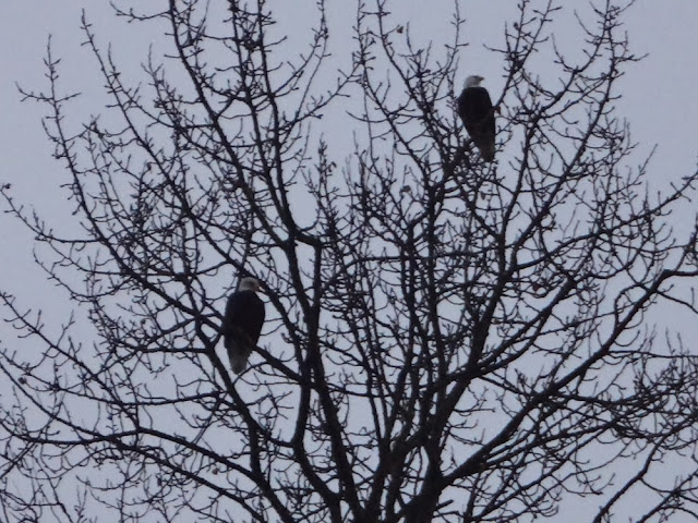 Bald eagles in a tree in Vancouver