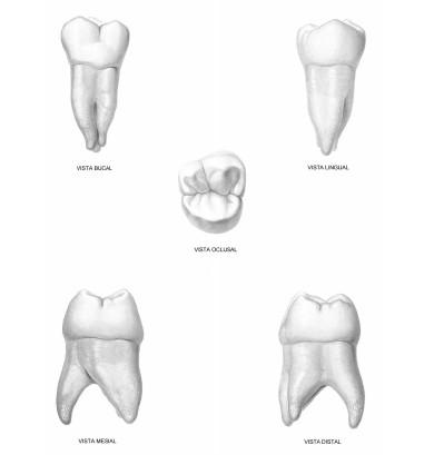 figun y garino anatomia odontologica online dating
