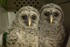 Barred Owl Nestlings