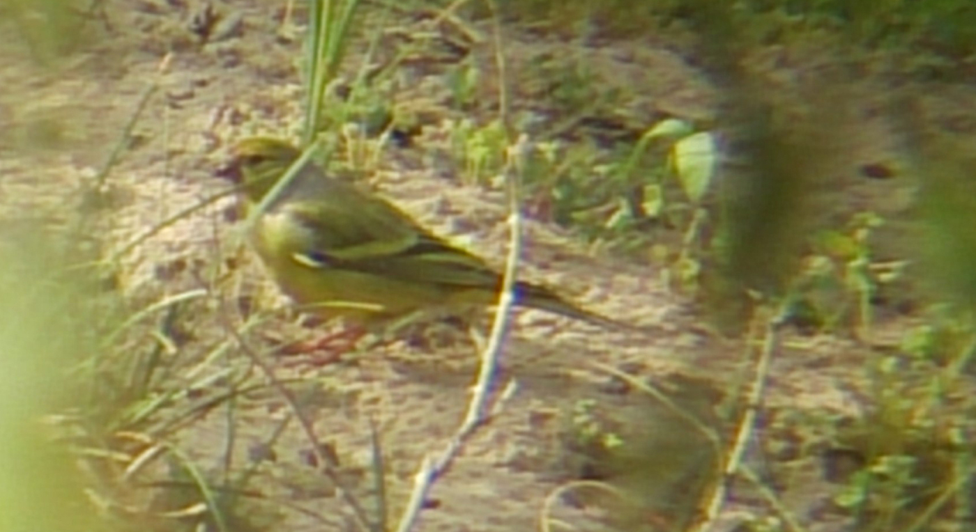 CITRIL FINCH-HOLKHAM PINES-NORFOLK-10TH MAY 2015