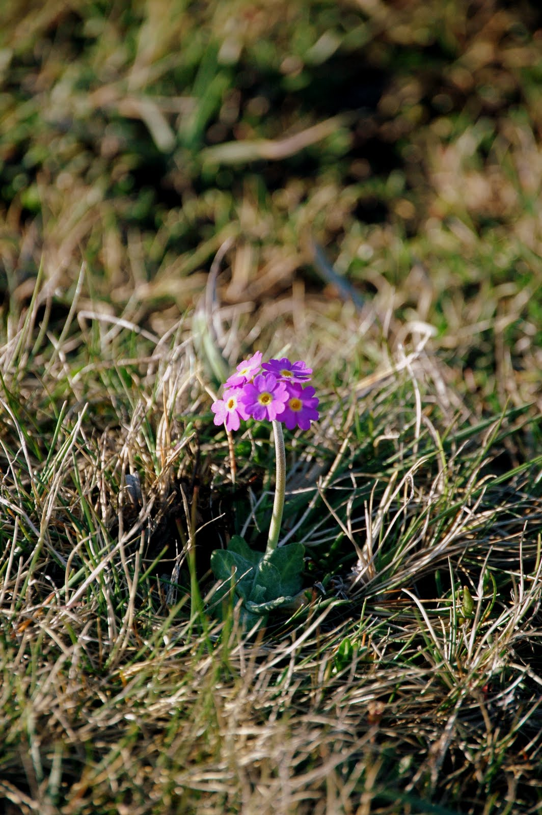 The Wind And The Wellies Introducing Primula Scotica A Rare