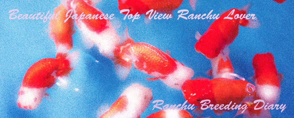 Beautiful Japanese Top View Ranchu Lover