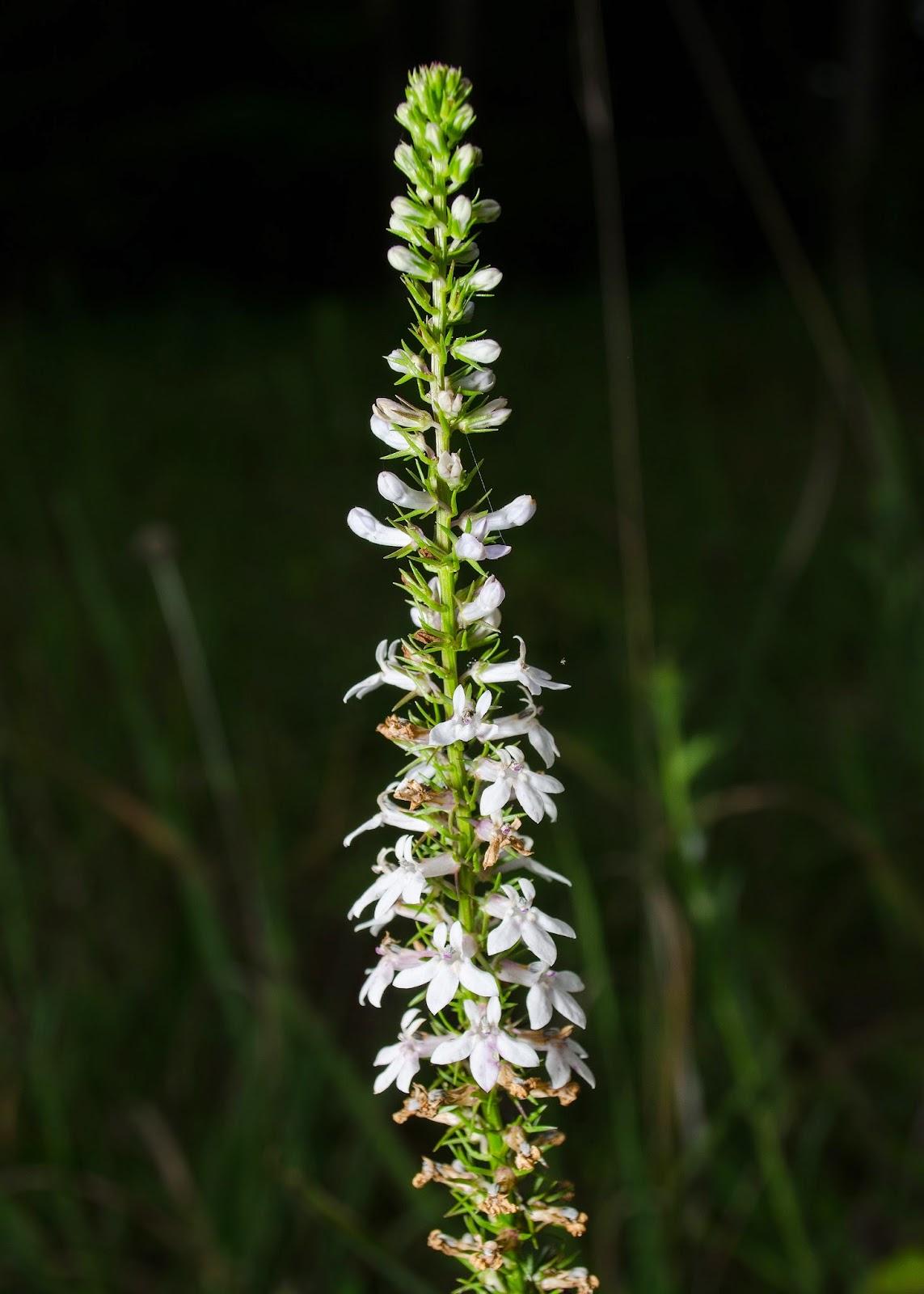 Pale-Spiked Lobelia, Lobelia spicata
