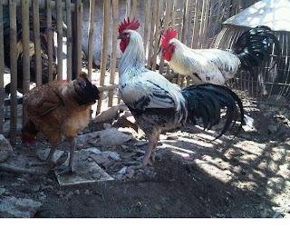 Jamu Herbal Ayam pelung, Ramuan Jamu Herbal ayam serama, Ramuan Jamu