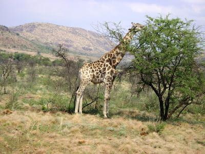 żyrafa w parku Pilanesberg w RPA