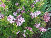 Mini Lilac Josiee