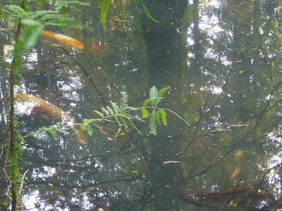 大阪府交野市・大阪市立大学 理学部付属 植物園 池の錦鯉