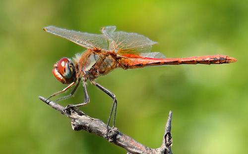 The dragonfly garden - Libélula - Caballito