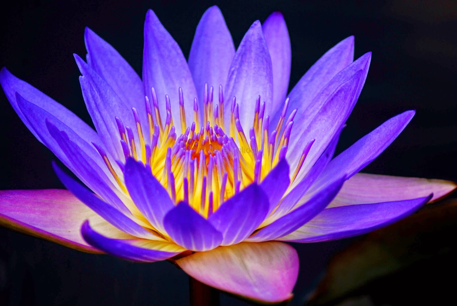 Water Lily Flower & Lily flowers quotes