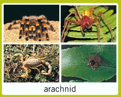 Arachnid Unit Study Mi primer año ...