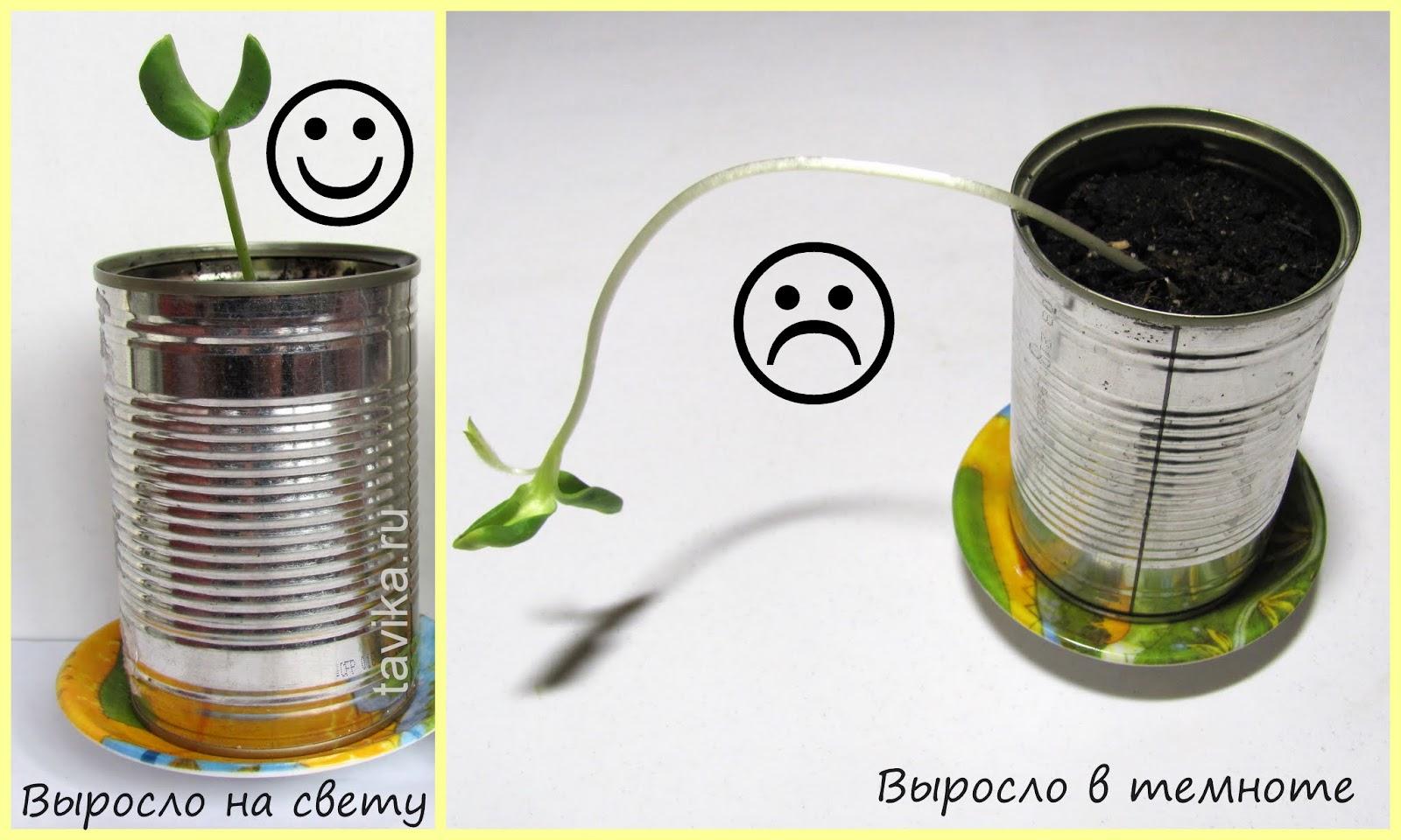 """Выращиваем растение в темноте - опыт для детей по теме """"растения"""""""