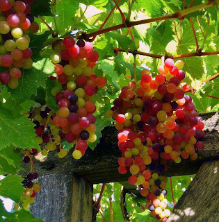 colourful grapes and green trees