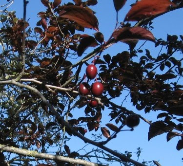 baby plums on the tree