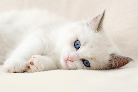 Gatos Pretos Dos Olhos Azuis a Cor Dos Olhos do Gato