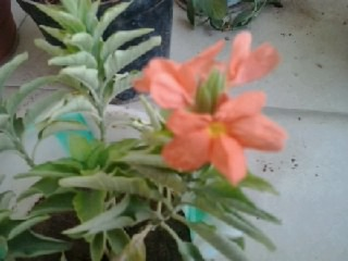 Aboli Flower Crossandra - firecracker- Kanakambaram Flower.