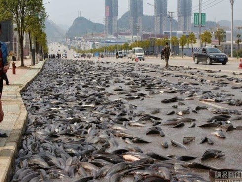 Ikan Keli Penuhi Jalan Raya