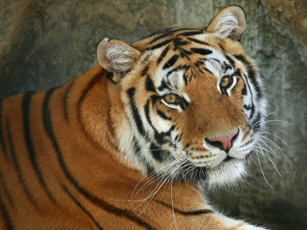 The Wild Life Review: Royal Bengal Tiger