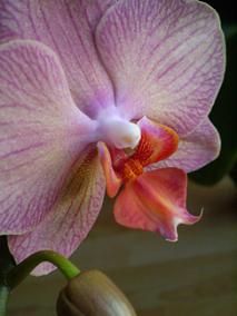 Růžová orchidej 2017