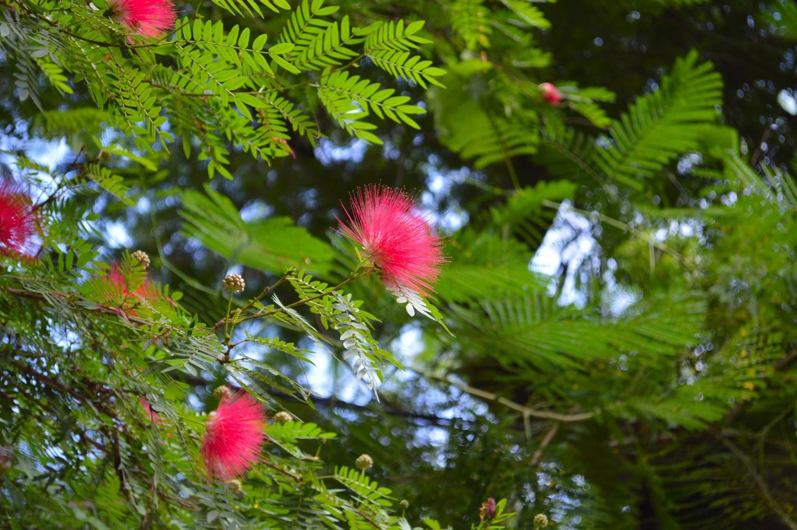 Yardifacts Albizia Julibrissin Mimosa Or Silk Tree