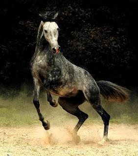 صور خيول عربية اصيلة 2018 اجمل الخيل العربي الاصيل