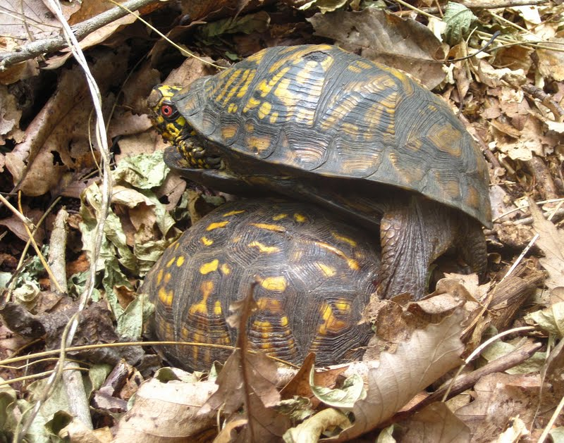 box turtles fooling around in my backyard nature on the edge of