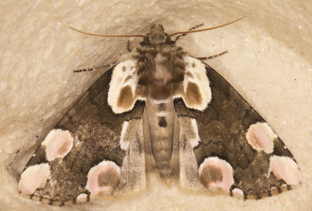 Peach Blossom, Thyatira batis.  Thyatiridae.  In my garden light trap in Hayes on 7 June 2014.