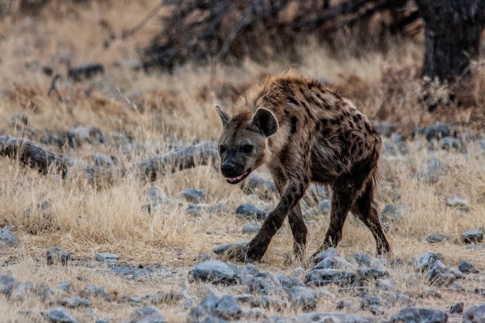 spotted hyaena etosha namibia safari