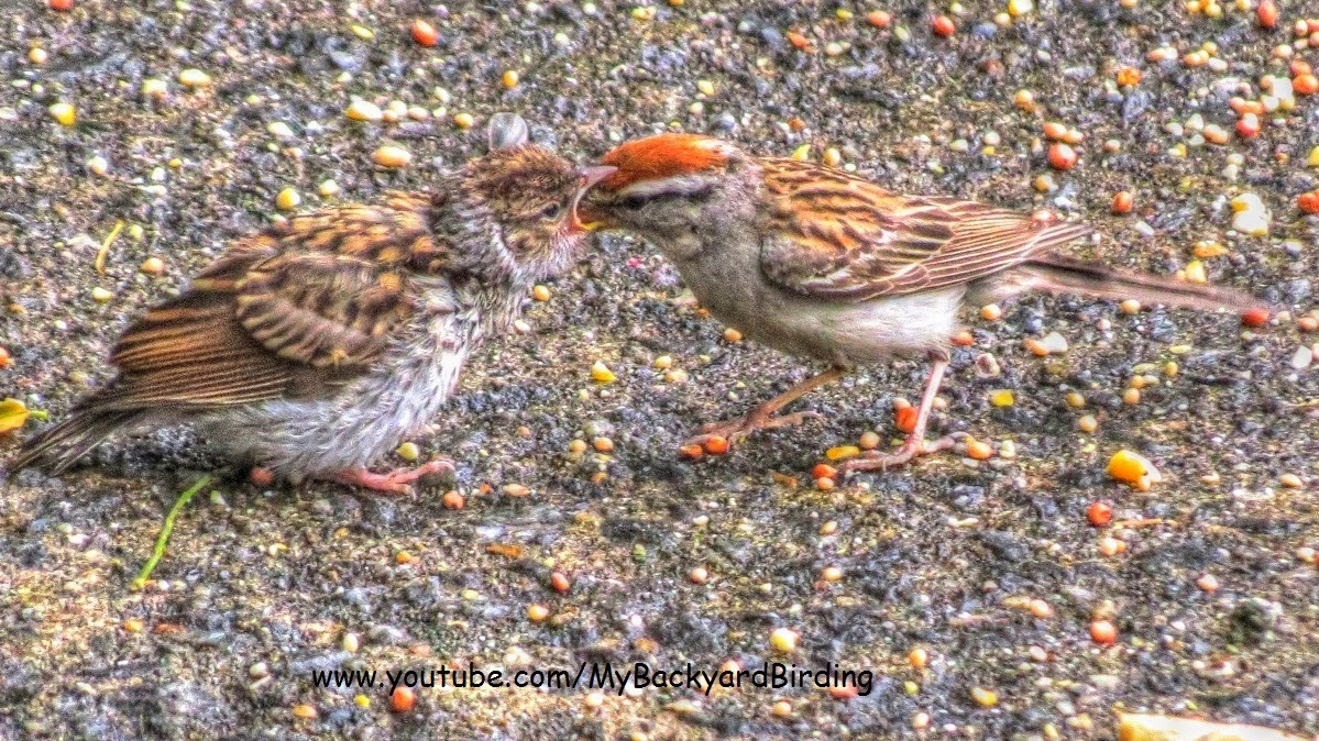 Chipping Sparrow mother and baby fledgling