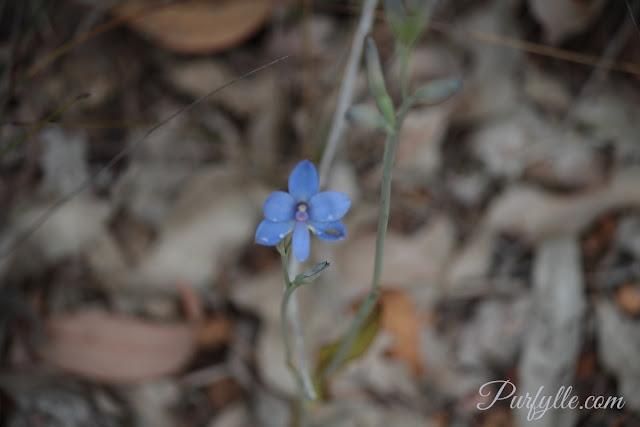 Thelymitra crinita a.k.a. Blue Lady Orchid