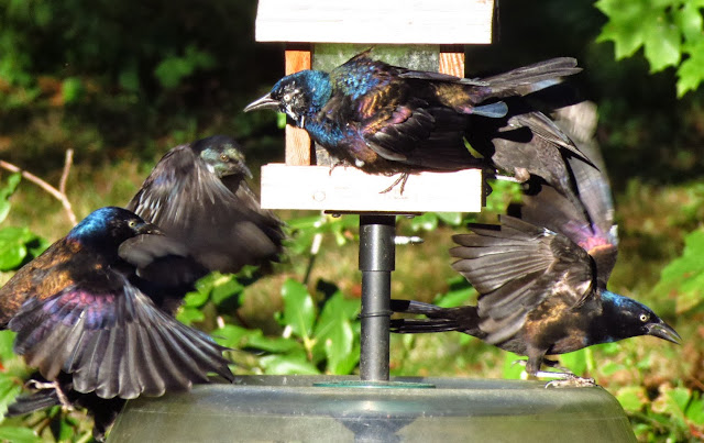 grackles mob house