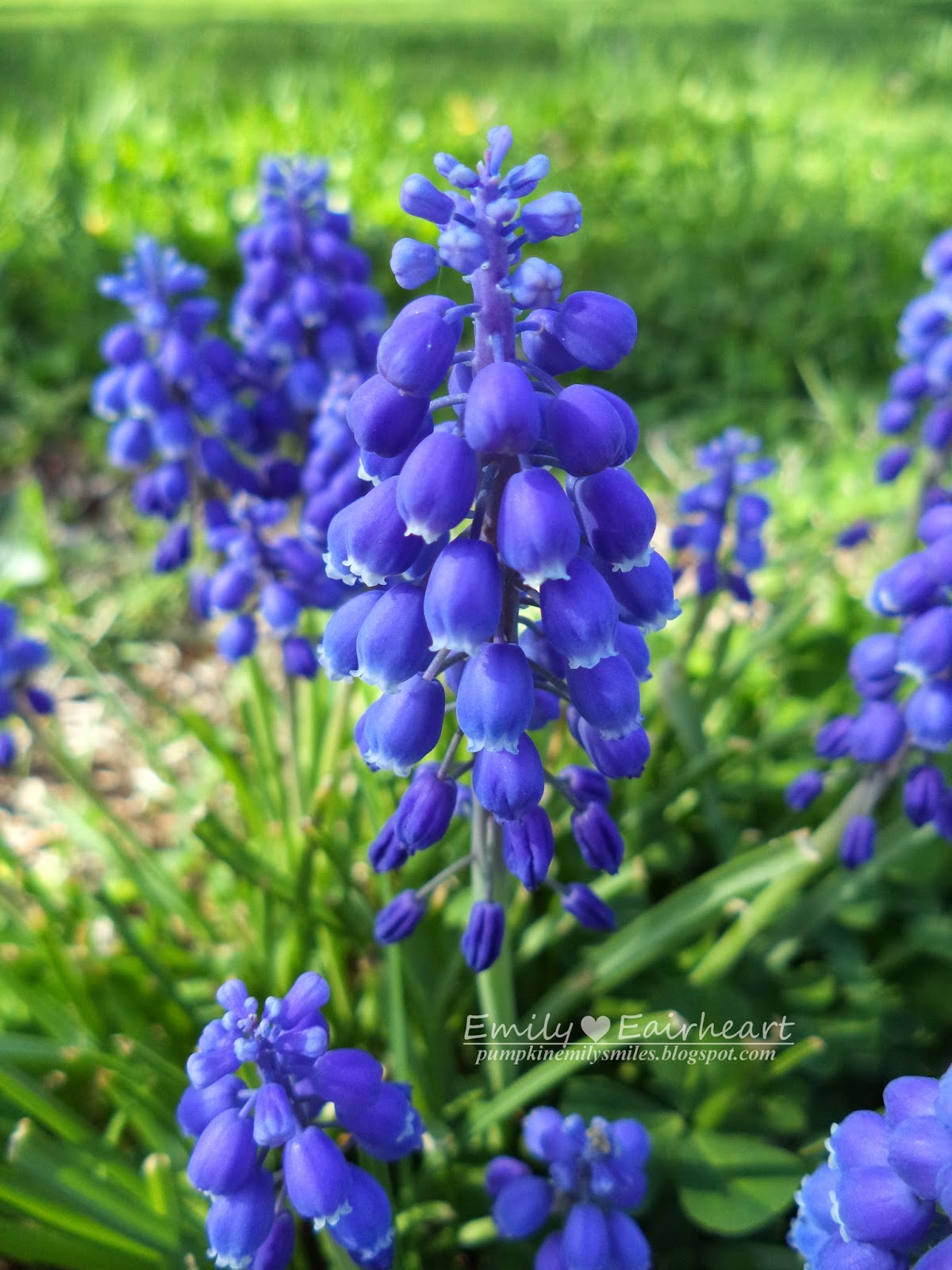 A close up picture of a Grape Hyacinth.