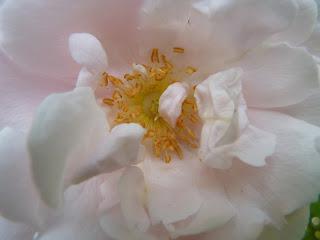 Eine Rose ist eine Rose, ist eine Rose.....