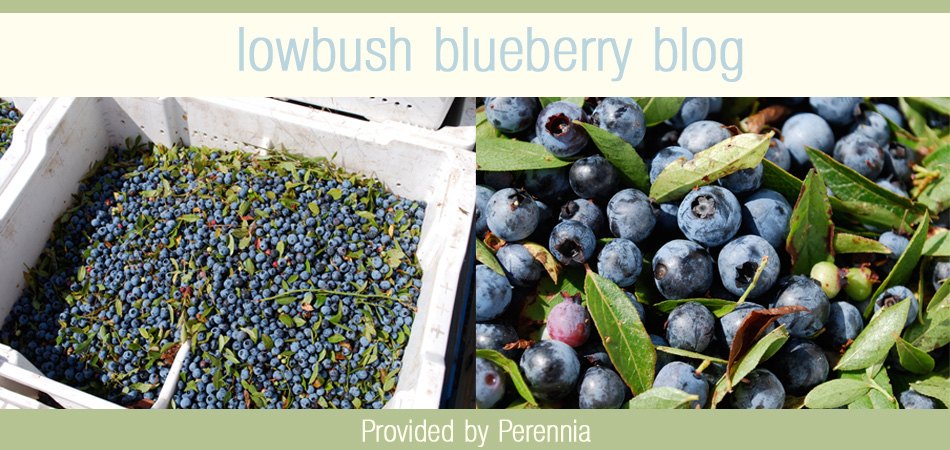 Nova Scotia Lowbush Blueberry Blog