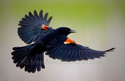 male Red-winged Blackbird (c) John Ashley