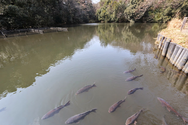 Feeling calm and peaceful while watching at these fish swimming in the pond at the fishing spot (otsuri-doi) at the garden of Meiji Shrine in Tokyo, Japan