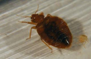 gambar bug red (kutu merah) yang homo-Binatang-Binatang dan hewan Yang Homo di dunia - munsypedia | un1x project