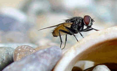 foto gambar hewan lalat