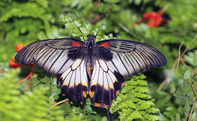 ann brokelman photography butterflies in niagara falls. Black Bedroom Furniture Sets. Home Design Ideas