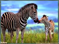 gambar zebra