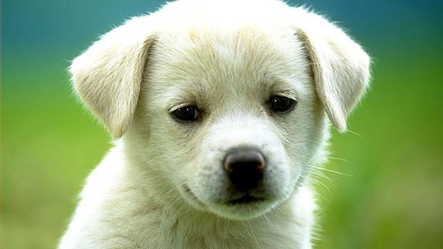 Sad Cute Dog Puppy Wallpaper