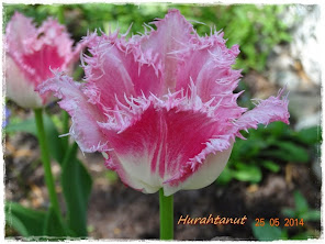 "Tulipa ""Huis ten Bosch"""