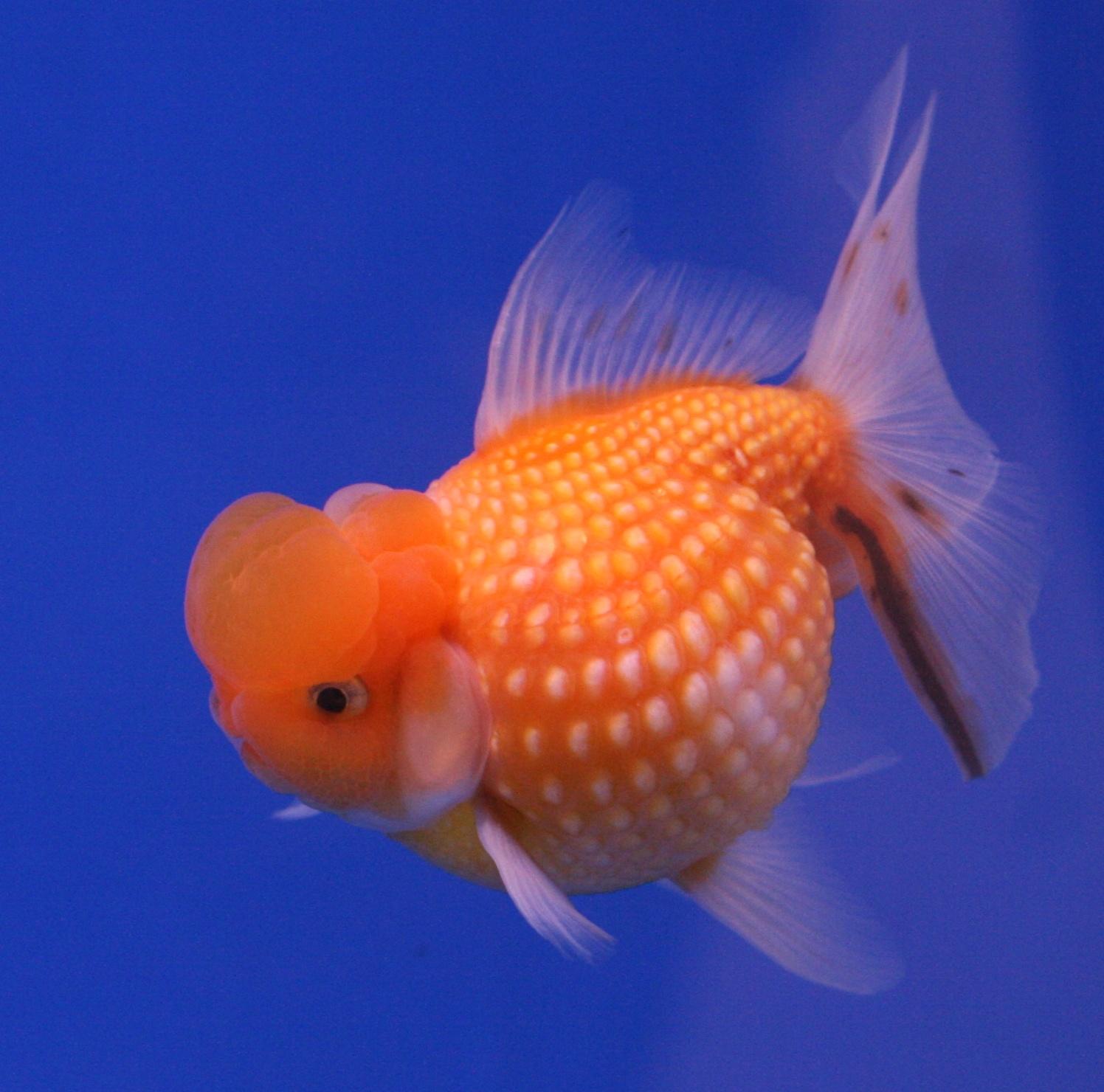 Peces y plantas ornamentales carassius auratus goldfish for Enfermedades de peces goldfish