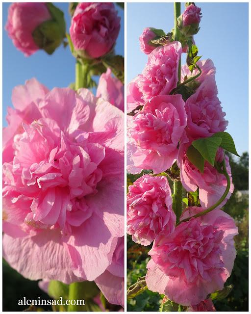 мальва, розовая, штокроза, шток-роза, штоккроза, выращивание, семена, аленин сад, Alcea rosea