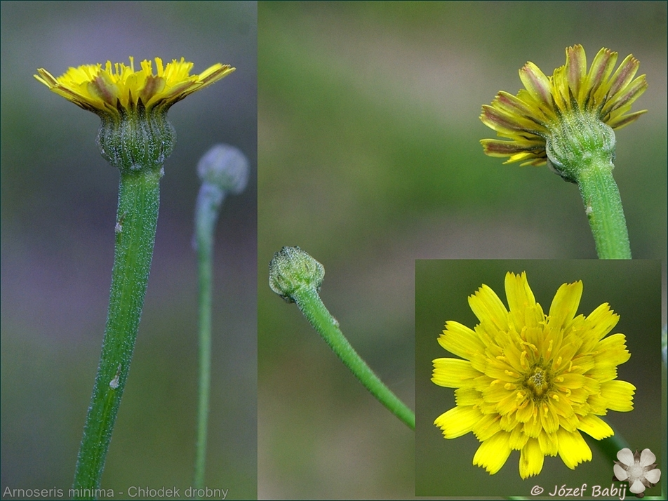 Arnoseris minima - Chłodek drobny kwiaty i pąki kwiatowe