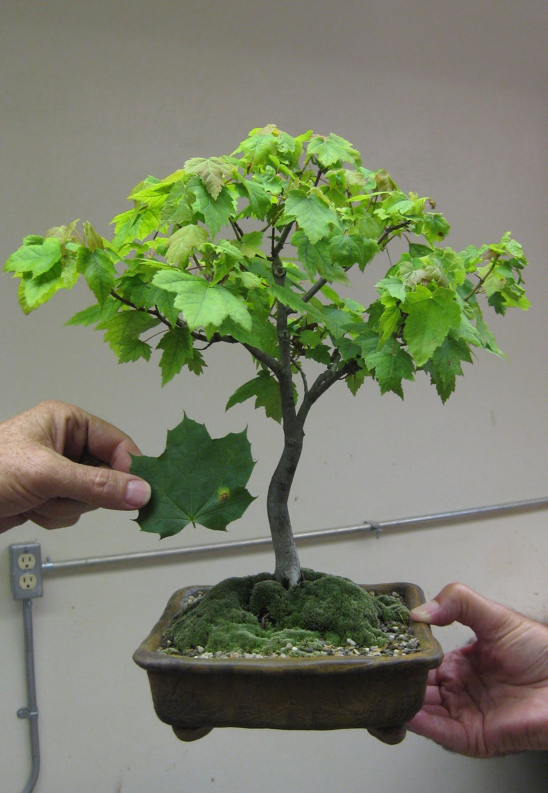 Akron Canton Bonsai Society Leaf Cutting Discussion At July Meeting