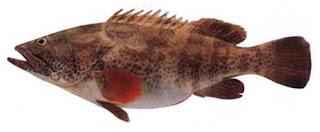 Ephinephelus tauvina